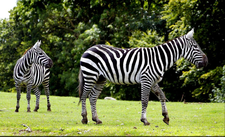 Zebraer i Ree Park - Ebeltoft Safari.