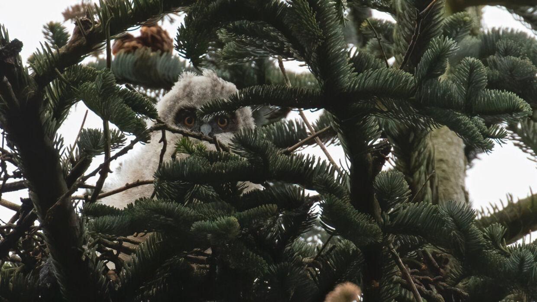 Skovhorneuglen før dens træ blev fældet Foto: TV 2 Østjylland