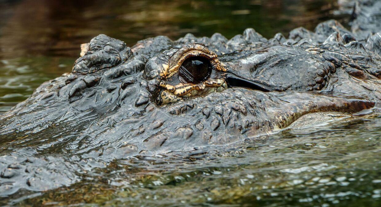 Saturn er af arten amerikansk alligator, hvor øjnene blandt andet sidder på siden af hovedet i modsætning til krokodillen, hvor øjnene peger lige ud. Alligatoren på billedet er ikke Saturn.