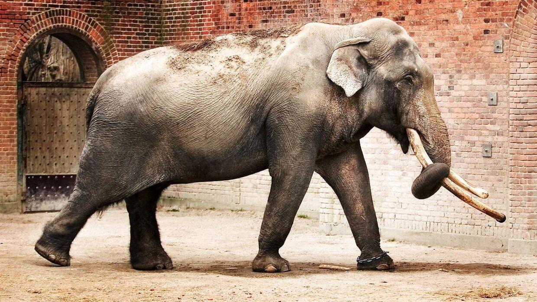 Arkivfoto af elefant.