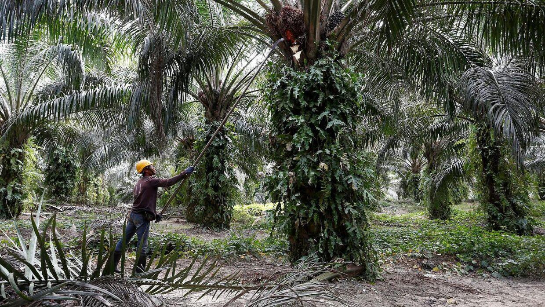 Palmeolie bruges i masser af dagligvarer, men afgrøden rydder regnskoven.De store dagligvarekoncerner køber ikke bæredygtig palmeolie nok, siger dyrkerne. Det skrev Ritzau, torsdag den 17. oktober 2019.. (Arkivfoto)