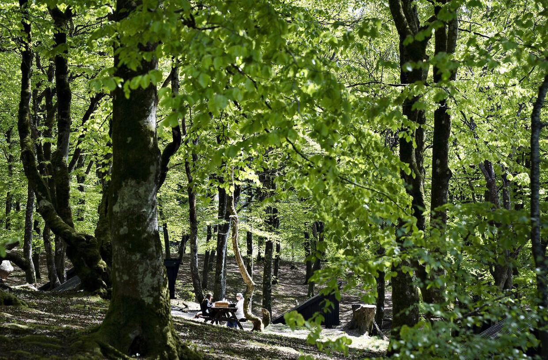 Nyudsprungne lysegrønne bøgetræer på vejen til Store Økssø i Rold Skov (Foto: Henning Bagger/Ritzau Scanpix)