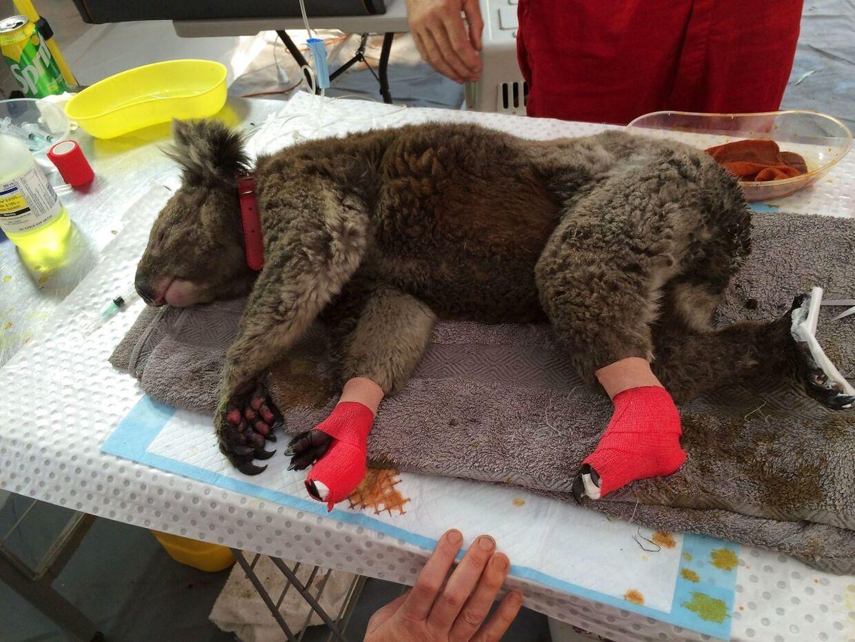 En såret koala ligger på et bord efter at være blevet reddet på Kangaroo øen i Australien den 13. januar 2020.