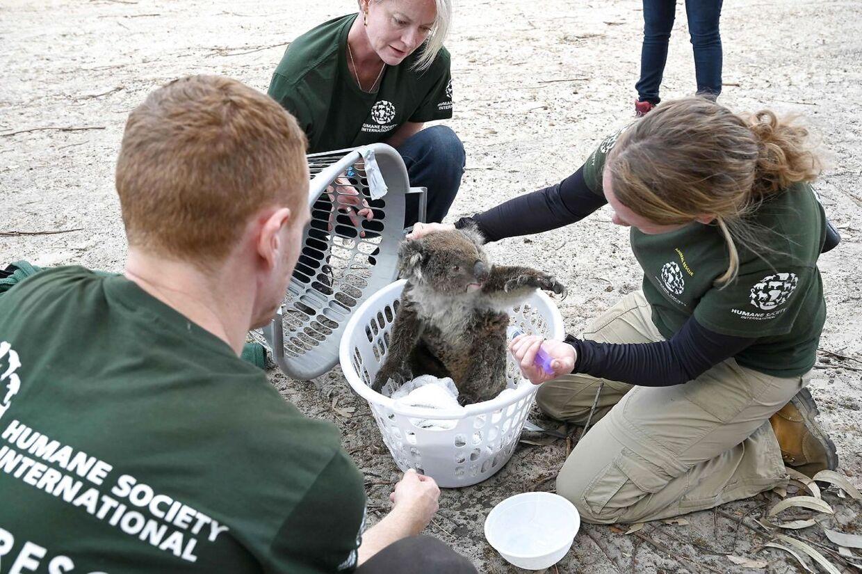 En såret koala bliver tjekket af tre medlemmer af redningskorpset på Kangarooøen den 15. januar 2020.