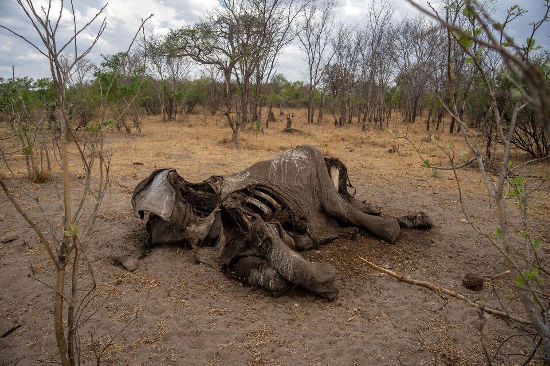 Denne elefant er død af tørst i november 2019. (ARKIV)