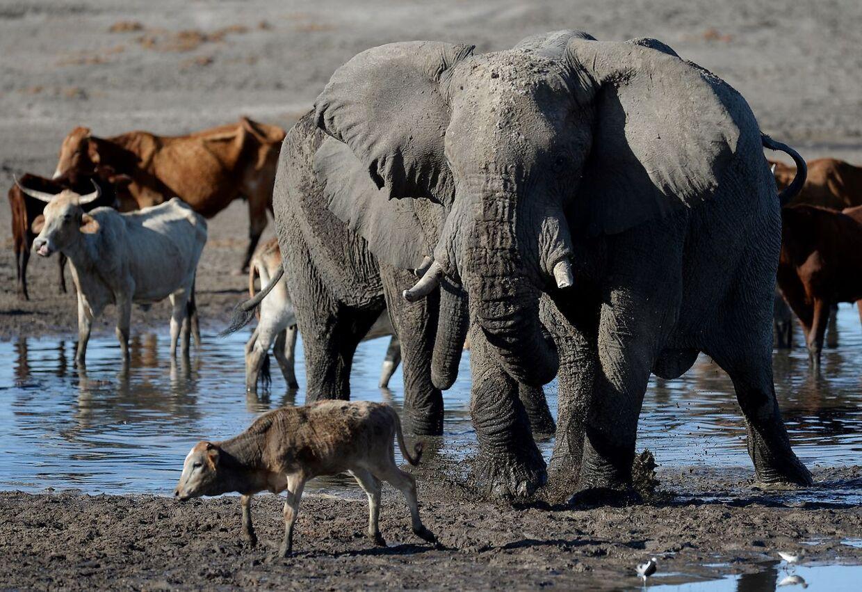 Kvæg og elefanter ved et vandhul i Okavango-deltaet i Botswana.
