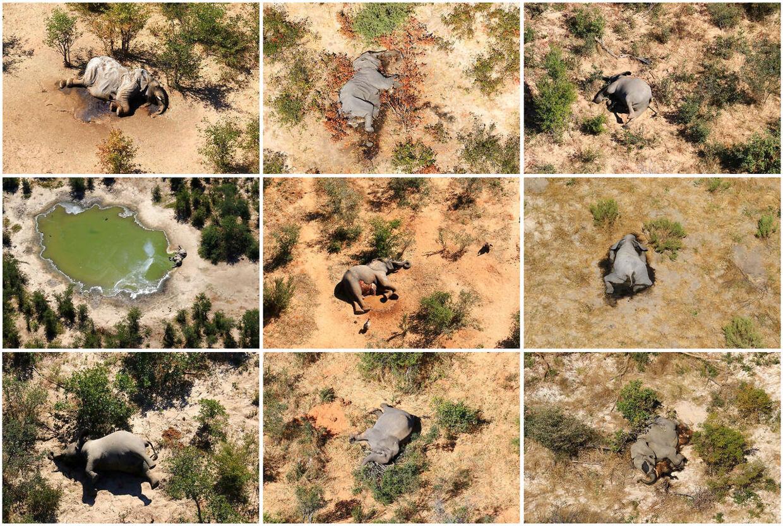 Det er fortsat uvist, hvorfor mere end 275 elefanter i Botswana er omkommet.