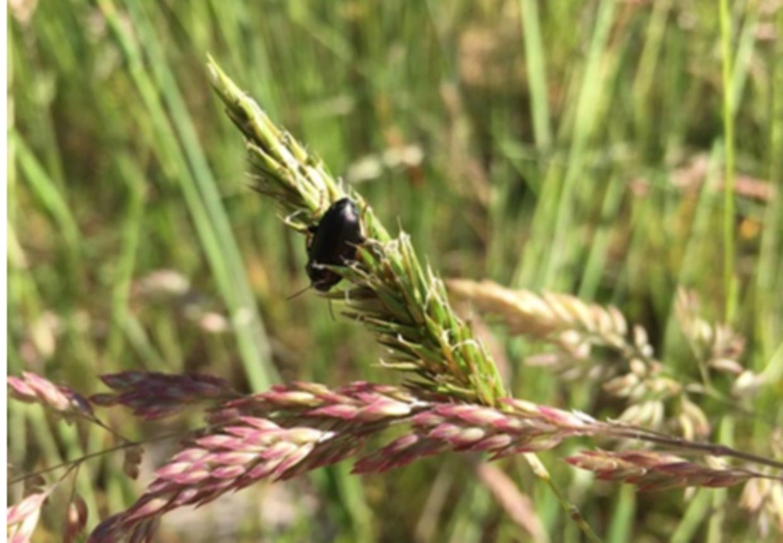 Her ses billede af den nye bille på en græsstrå i Bøtøskoven på Falster. Foto: Jan Pedersen/Guldborgsund Kommune
