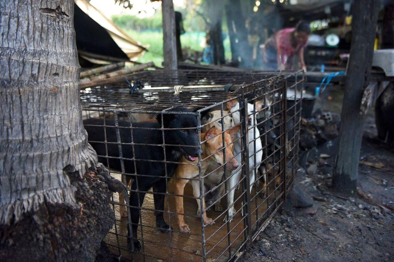 Hundene venter tålmodigt i et bur, men en kvinde koger vand til at putte dem i, i et slagtehus i Siem Reap-provinsen.