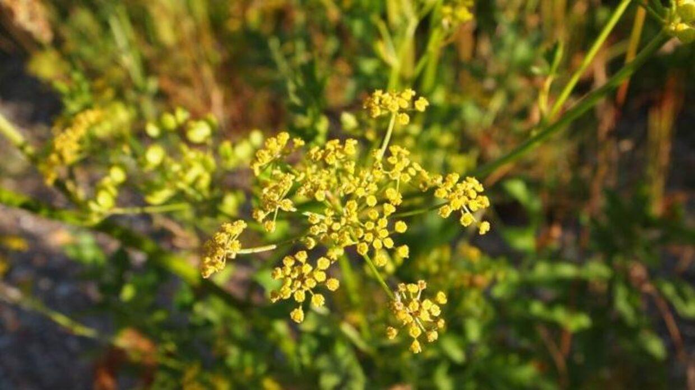 Sådan ser den vilde gule pastinak ud med sine karakteristiske gule blomster.
