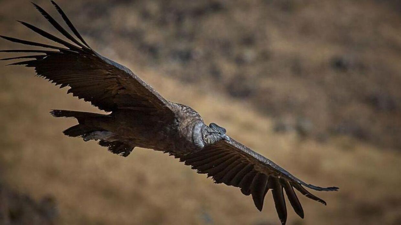 Andeskondoren er en uhyre dygtig flyver, som kan holde sig svævende i timevis uden at baske med vingerne, viser nyt studie.