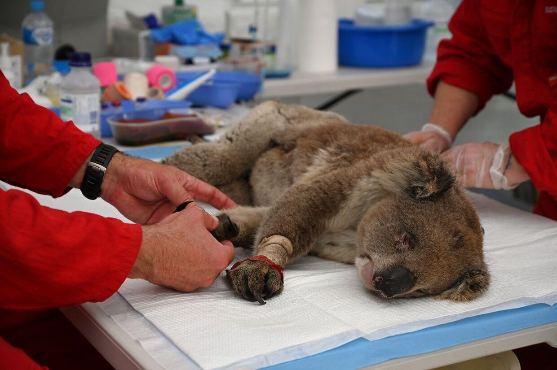 Et såret koala bliver behandlet for brandsår på fødderne.