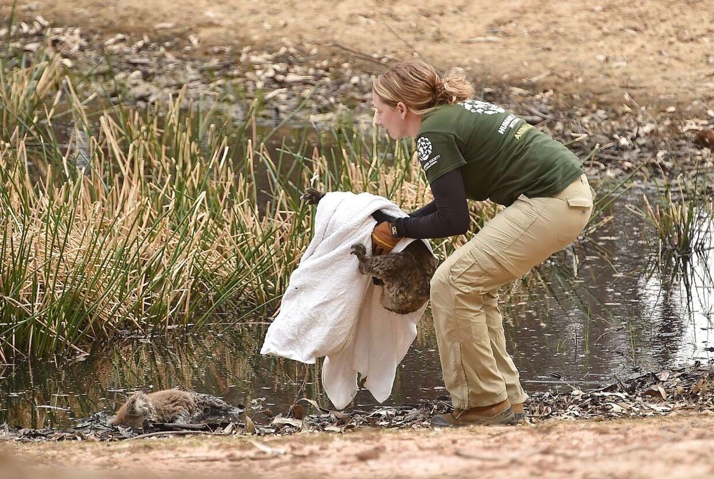 Kelly Donithan samler en såret koala op ved siden af en død.
