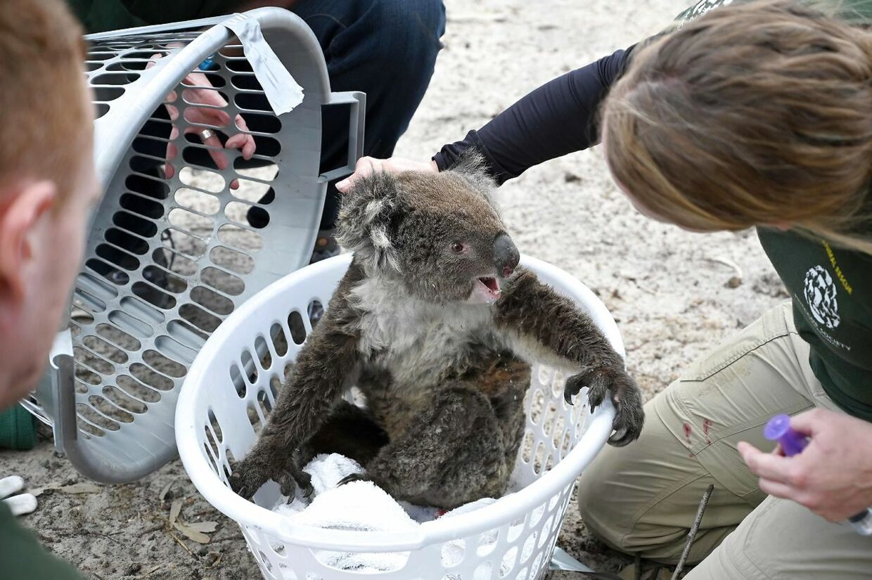 En såret koala placeret i en plastikkurv.