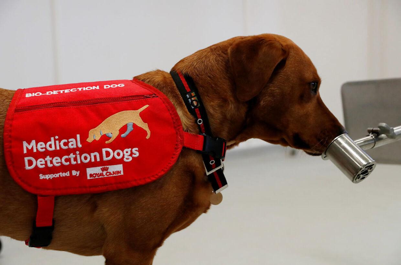 En specialtrænet hund lugter til en spytprøve for at finde ud af, om den er inficeret med covid-19.