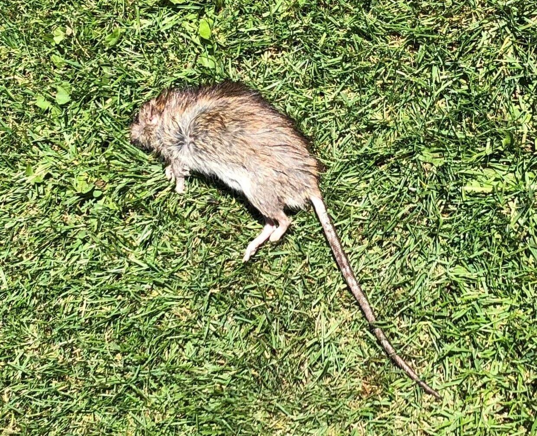 En rotte ligger død på en græsplæne efter at have spist rottegift.