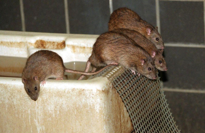 Hårde frostvintre og voldsomme skybrud kan være hårde mod rottebestanden, men de får hurtigt ynglet sig op i antal igen.