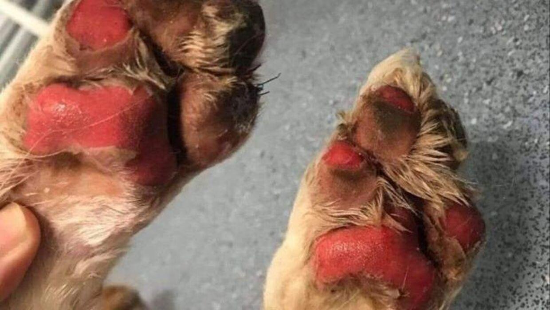 Her ses et eksempel på en hund, der har fået brændt sine poter på varm asfalt. Foto: Dyrenes Velfærd