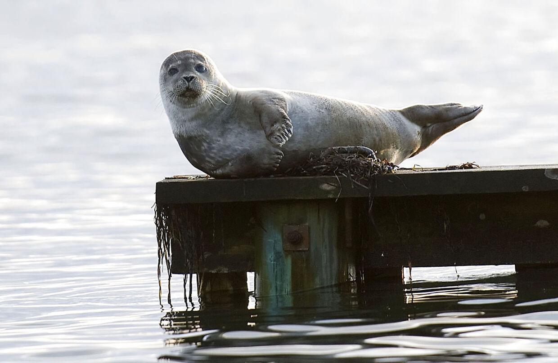 Arkivfoto: En lille sæl har lagt sig mageligt til rette på badebroen ved Jarlens Grund i Espergærde fredag d. 21 november 2008. Sælpest spredte sig først fra Anholt og har siden dræbt flere end 50.000 sæler. På grund af klimaforandringer findes den nu i Stillehavet, konkluderer rapport. Det skriver Ritzau, mandag den 18. november 2019.. (Foto: Keld Navntoft/Ritzau Scanpix)
