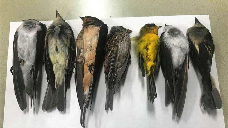 Professor for dyreliv Martha Desmond udtaler til det amerikanske medie, at de døde fugle er fundet i hele staten. Hun mener, at der potentielt kan være flere hundrede tusinder fugle, der ligger døde på jorden. Foto: Martha Desmond / Universitetet i New Mexico