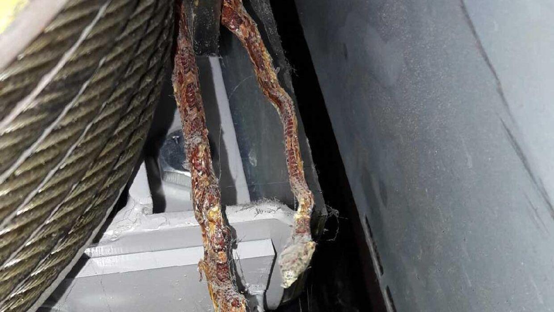 Her hang den nu afdøde slange, da man fandt den. Se det fulde billede i artiklen.