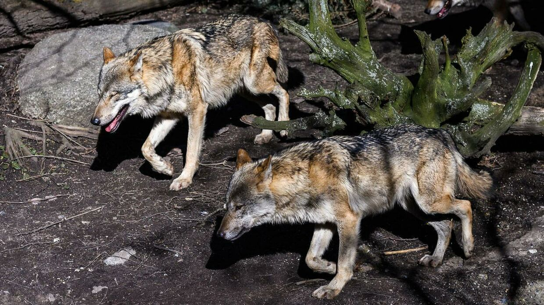 ARKIVFOTO af ulve i Københavns Zoo.