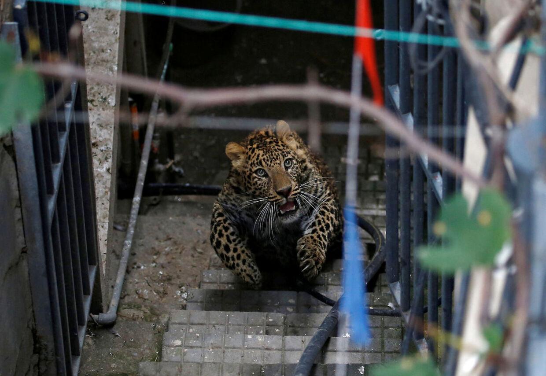Vilde leoparder kan også udgøre en fare for mennesker, som her, hvor en leopard har forvildet sig ind i et hus i Kathmandu, Nepal.