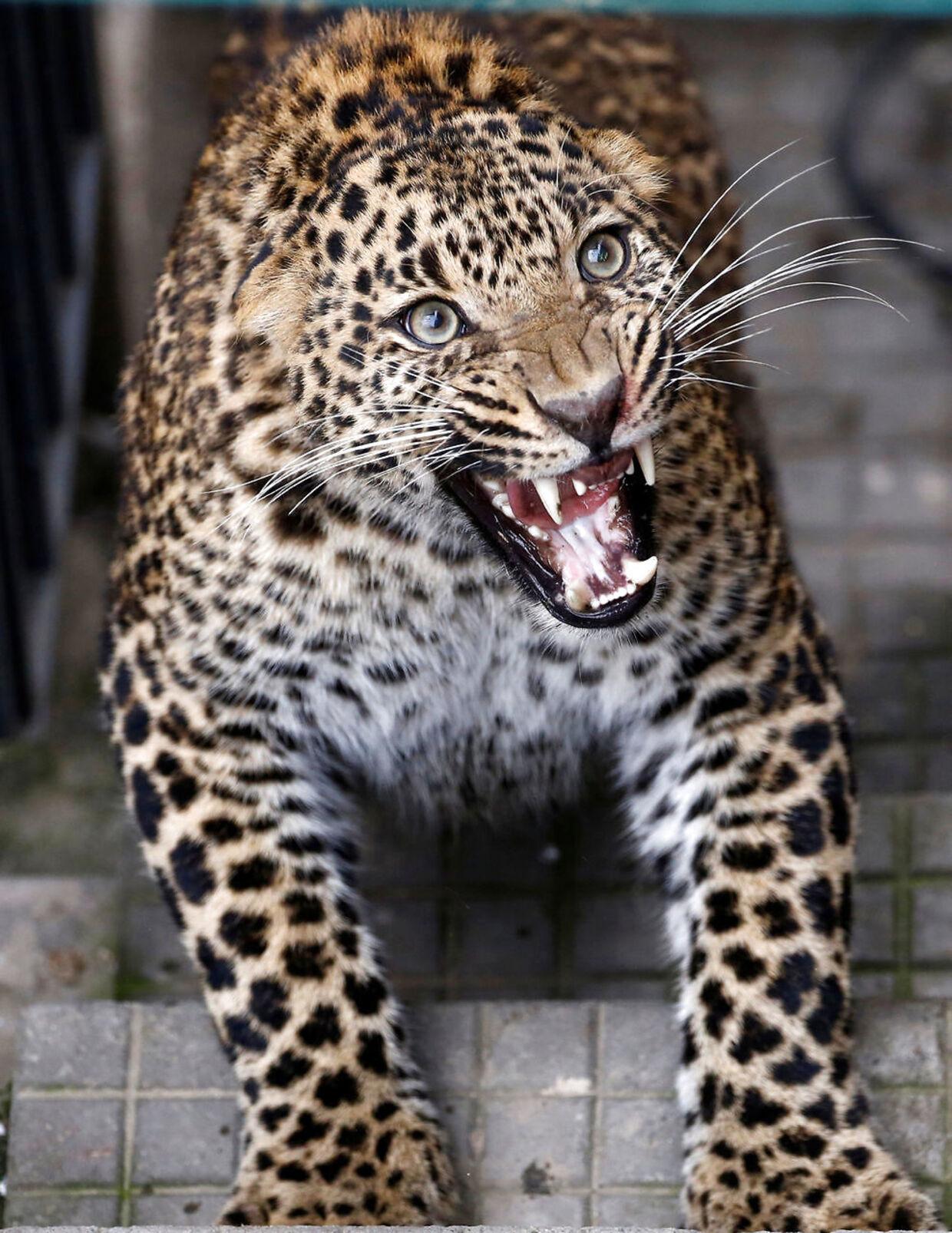 Den vilde leopard hvæser af de mennesker, der prøver af lokke den ud af huset i Kathmandu i Nepal.