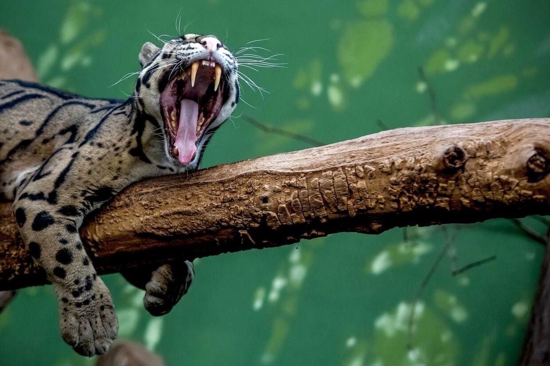 Denne træleopard er fotograferet i en zoologisk have i Prag. (Arkivfoto)