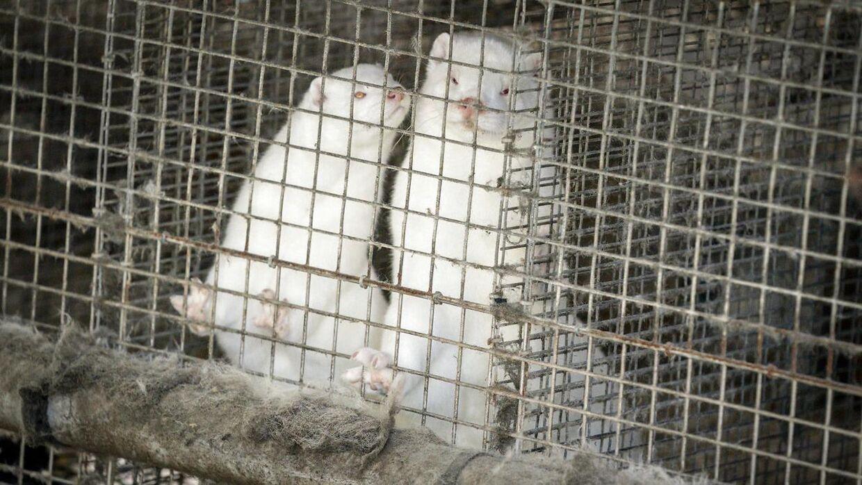 Omkring 15 millioner mink skal nu aflives i Danmark.