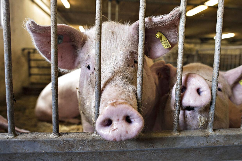 Svineinfluenza smitter ikke, selv om man spiser en inficeret gris. Arkivfoto.