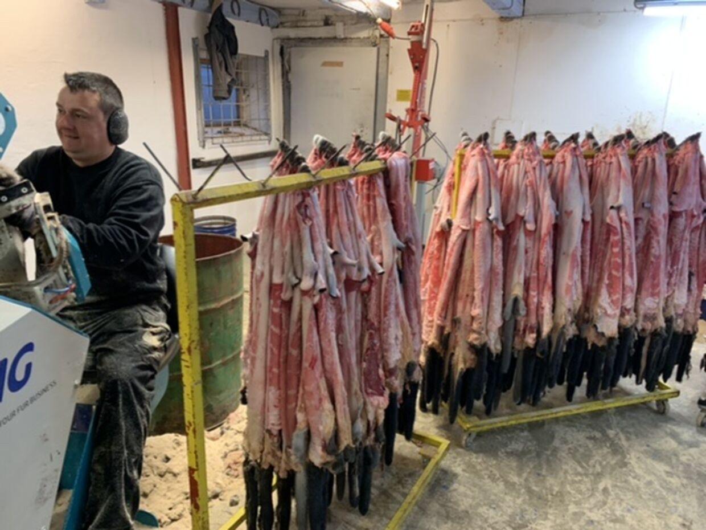 Da minkene på Åskovgård ved Ørbæk intet fejler, bliver skindene flået og solgt som normalt. Men det bliver aller sidste gang. Om få dage er dansk minkavl nedlagt for altid.Foto: Jens Anton Havskov