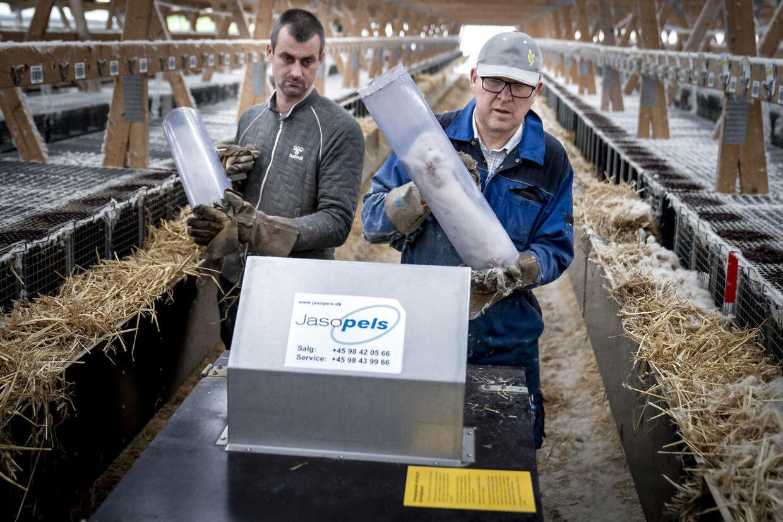 Ulovlig ordre: Mink aflives på en farm ved Næstved, selv om der slet ikke har været coronasmitte her.