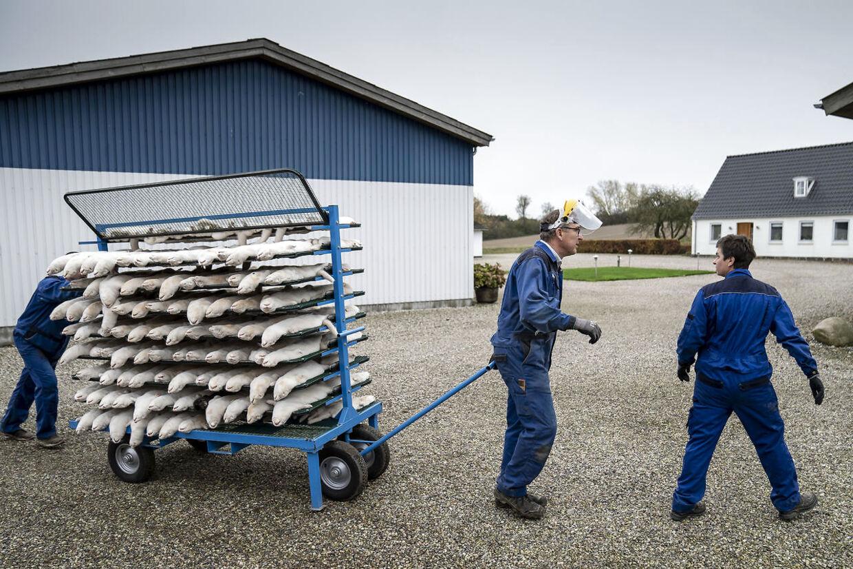 Mink aflives på minkfarm ved Næstved. På Sjælland gives der tempobonus for 20 kroner ekstra pr. mink, såfremt aflivningen sker inden udgangen af torsdag. Regeringens lovning på sådan en bonus er dog ulovlig, da den ikke har lovhjemmel efter vedtagelse i Folketinget.