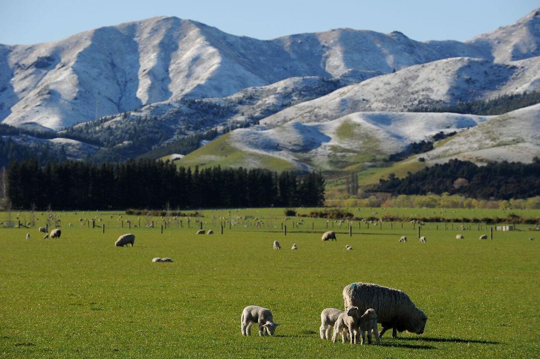 Lammene går på marken nær Hanmer Springs på New Zealands sydlige ø.