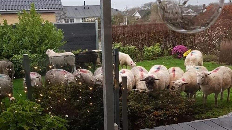 Jan og Jonna fik besøg af 20 får - men hvem ejer dem?