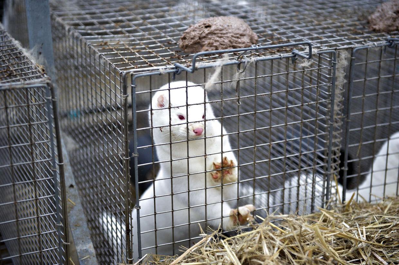 Op mod 17 millioner danske mink blev aflivet efter regeringens beordrede dem slået ned.