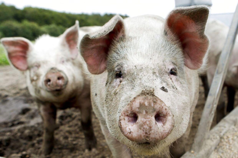 Trynen, øjne og ører på en gris er lige så individuelt forskellige som et menneskes ansigt. Det udnyttes nu til overvågning i kinesiske svinestalde. Arkivfoto.