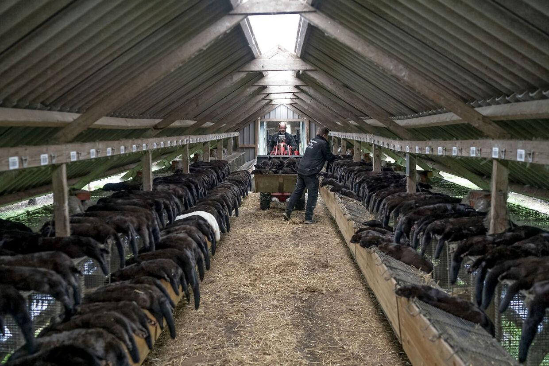 Minkavlerne venter på erstatning for de mange millioner aflivede mink. Der har bare ikke været forhandlinger på Christiansborg om det i snart en måned.