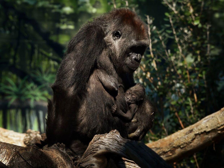 På dette arkivfoto fra 2015 holder gorillaen Jessica sin to uger gamle baby på maven. Op til otte gorillaer er smittet med covid-19 i San Diego Zoo Safari Park.