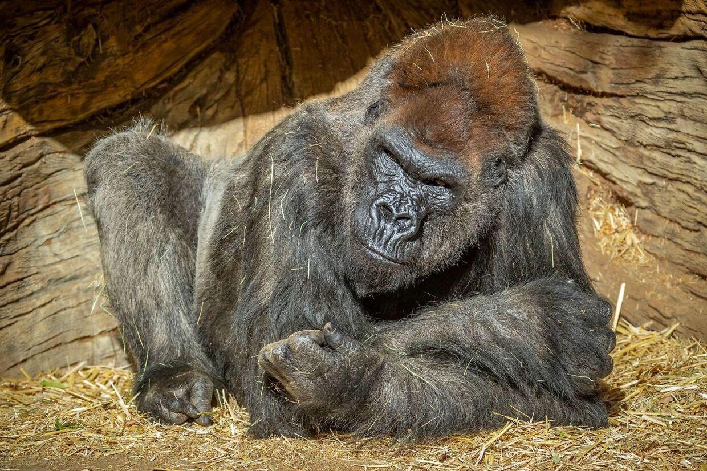 Blandt gorillaerne er en omkring 45 år gammel 'sølvryg' ved navn Winston.