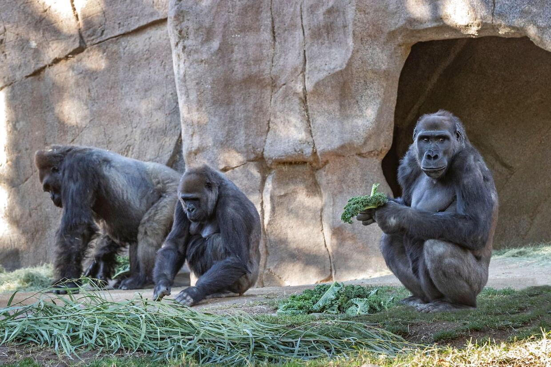Gorillaerne får lidt grønt mad, men to af flokken helt sikkert er smittet med coronavirus.