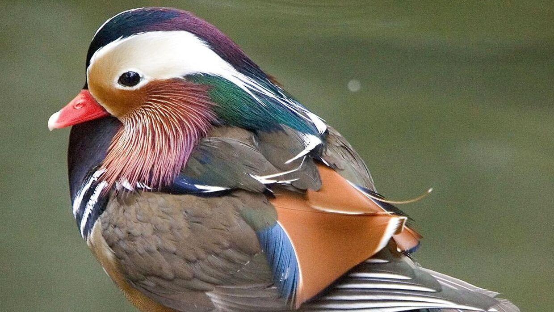 En mandarinand er meget sjælden i vild udgave i Danmark. Her er det en and af samme art, som for nogle år siden blev sat ud i Tivolisøen i København.