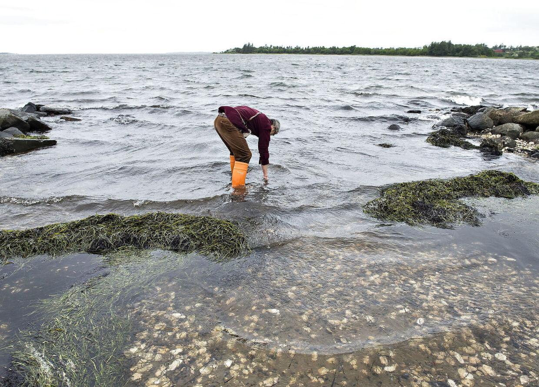 De danske kyster giver god mulighed for at høste muslinger - også om vinteren.