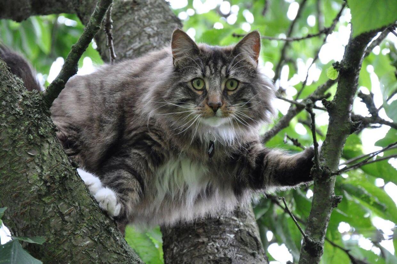 Indtil for få uger siden var Balder en aktiv og meget social kat. Nu holder den sig for sig selv og må aldrig mere komme udenfor af frygt for at sprede katteaids til andre artsfæller.Foto: Privat