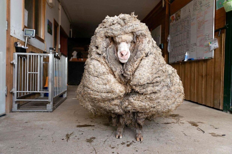 Dette billede viser fåret Baarack, der er blevet reddet fra skoven med adskillige års uldvækst.
