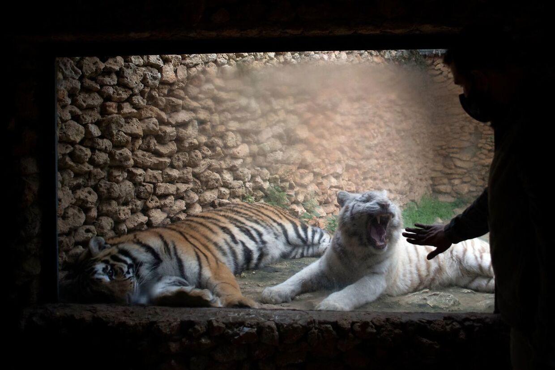 Tigre i dyreparken i Castellar de la Frontera i det sydlige Spanien. Dyrene er reddet af civilgarden og tolderne efter at være blevet forsøgt smuglet.