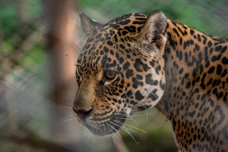 Tania er en kvindelig jaguar, der er vokset op i en zoologisk have i Argentina.