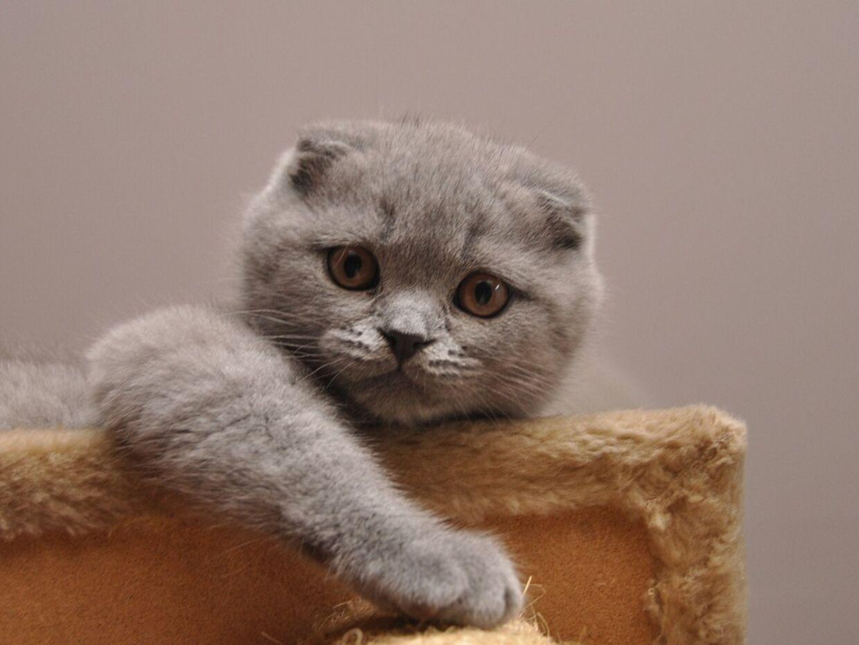 En kat af typen Scottish Fold.