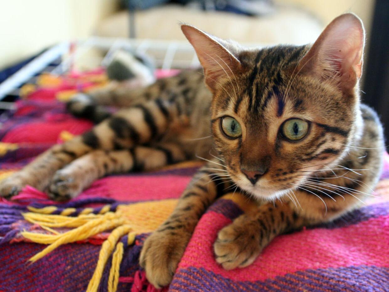 En kat af typen Bengalkat.